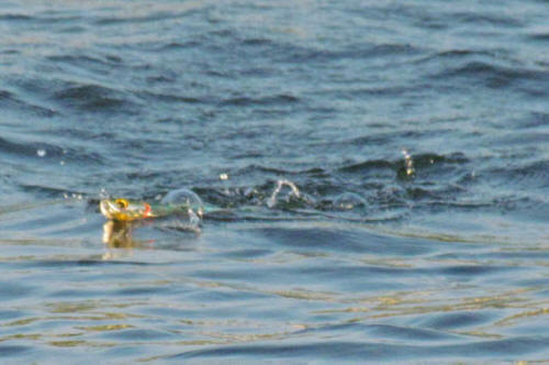 Ima big stik topwater pencil popper for Top water bass fishing
