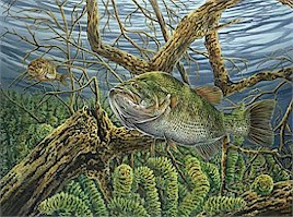 Largemouth Bass and Fallfish - by Curtis Atwater